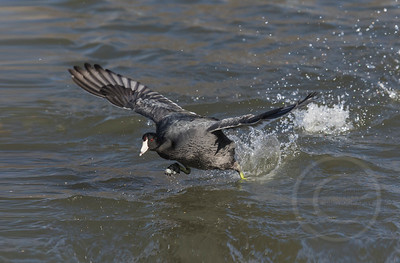 Coot A Coming