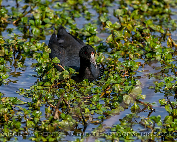Fulica americana American coots in pond with duckweed 2018 03-08 Sac NWR-007