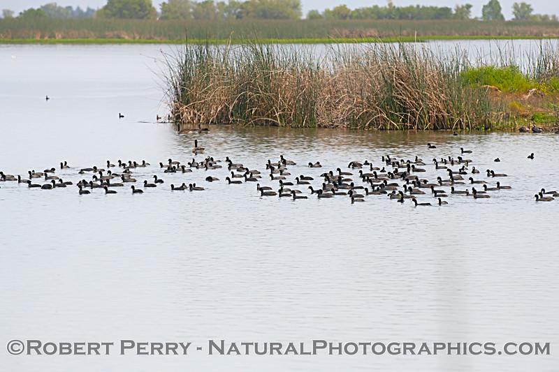 Fulica americana flock on water 2020 04-18 Sac NWR--002