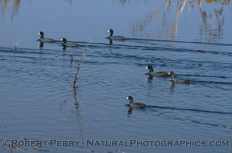 Fulica americana COOT flock in water 2017 10-16-Staten Island-006