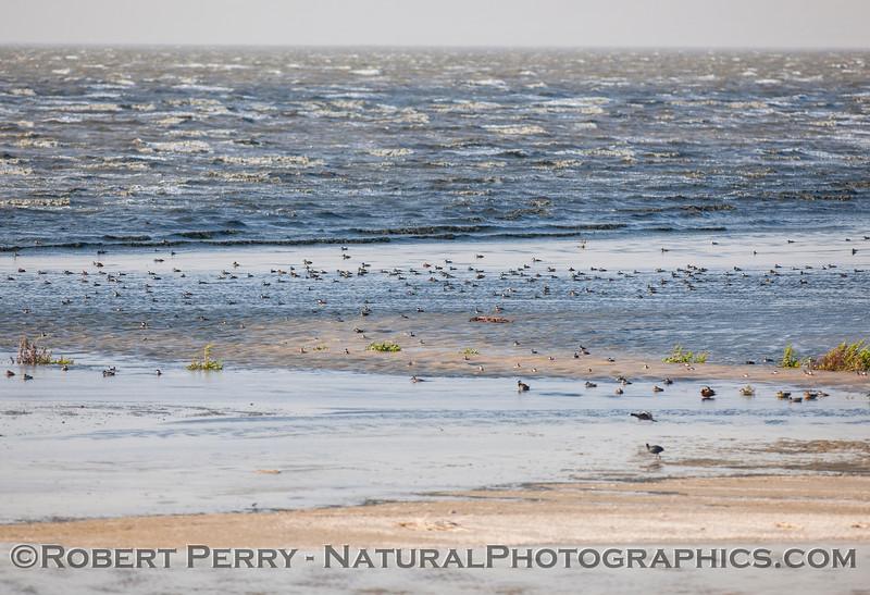 Oxyura jamaicensis RUDDY DUCKS & Fulica americana COOTS on shore Salton Sea 2017 03-31 Sonny Bono NWR-002
