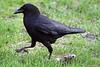 4-30-09 Crow 6