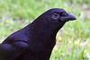 4-30-09 Crow 3