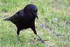 4-30-09 Crow 5
