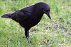 4-30-09 Crow 4