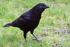 4-30-09 Crow