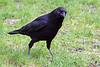 4-30-09 Crow 2