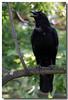 6-17-06 American Crow 3