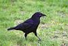 4-30-09 Crow 1
