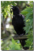 6-17-06 American Crow 5