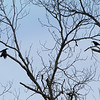 Two American Crows with pecans in their beak