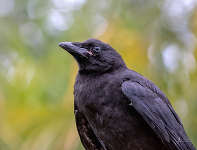 Fledgeling Crow