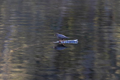 0U2A1755_American Dipper