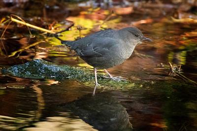 Birds of Green Lake , Whistler, BC