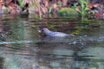 202A9592Dipper Salmon egg