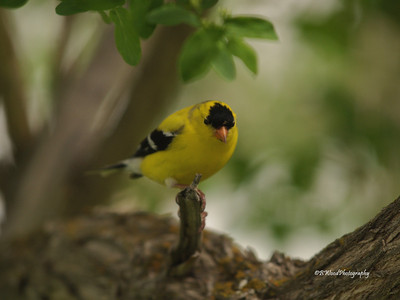 CT 08JU1365 Male American Goldfinch