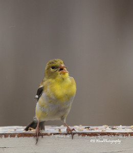 CT 08MY8863 Female American Goldfinch