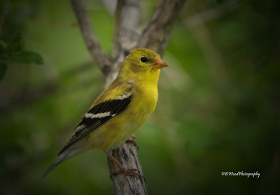 CT 08JU1373 Female American Goldfinch