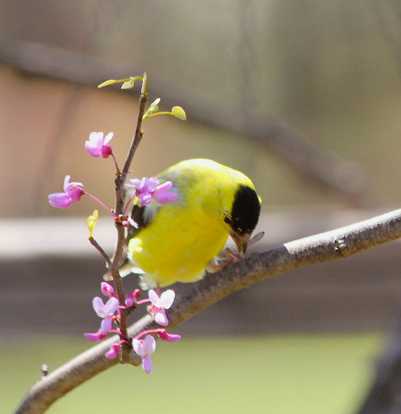 American Goldfinch (Male) in his Spring color!