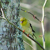 American Goldfinch (Female)<br /> Spring Migration