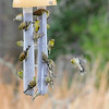 Our American Goldfinch family on the thistle socks partaking of thistle seed!