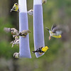 The Family Reunion - American Goldfinches at the thistle feeder.<br /> Spring Migration