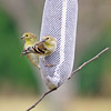 Goldie and Sunshine, our American Goldfinches, on the thistle sock during Fall migration