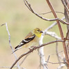 American Goldfinch (Male non-breeding)