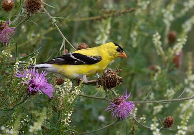 _J3A1215_American Goldfinch