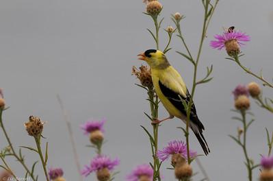 _J3A1211_American Goldfinch