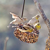 American Goldfinches behaving territorial at the fruit and nut suet