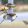 Family Feud at the buffet!<br /> American Goldfinches and Pine Siskins (darker-colored birds with brown streaks)
