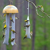 Look to the upper right and you will see our American Goldfinch lovebirds, Gabe & Goldie!<br /> American Goldfinch Flock (Male and Female) enjoying the thistle socks underneath the globe.<br /> Spring migration