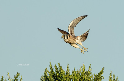 American Kestrel female working with me at sunset on 9-14-12