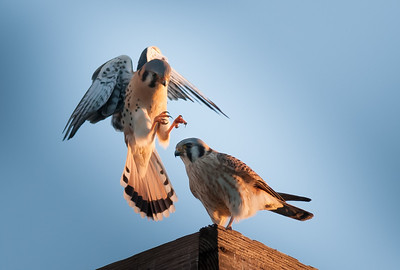 American Kestrel male coming in to mate, talons turned in, 1-Mar-2013