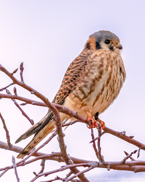 """American Kestrel (Falco sparverius) """"Watching carefully for its next meal."""" [20191204]"""