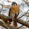 """American Kestrel (Falco sparverius) """"With its next meal."""" [20191121]"""