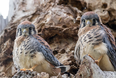 0U2A1561_Kestrel fledglings