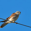 American Kestrel at San Jasinto Wildlife Preserve,CA. Like Western Meadowlark,it's hard to get close to this bird. My car seemed to work as a blind very well and this bird was at about 10 ft. from my car.