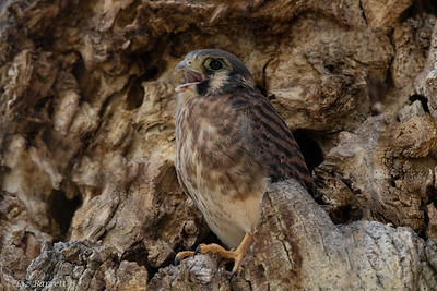 0U2A1388_Kestrel Fledglings