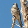 This kestrel was captured at Covinton Park,Morongo Valley.CA. They have a nest in the dead broken tree and I was just waiting for them to show up.