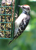 Woodpecker, Downy - Photographed at my residence, Chattanooga, TN.