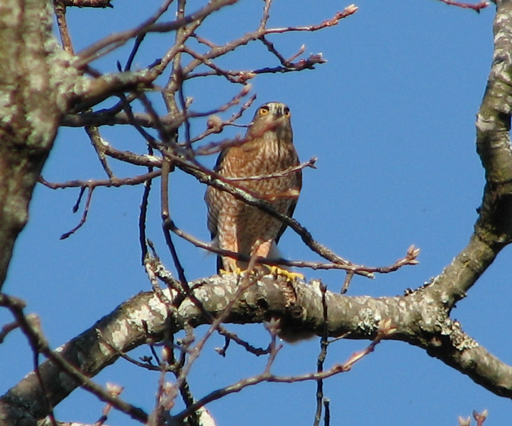 Hawk, Cooper's - Photographed at my residence, Chattanooga, TN.
