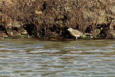 IMG_3486 American Pipit
