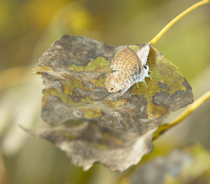 Very small Marine Blue Butterfly