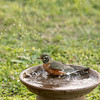 Angelina, our female American Robin, enjoys the clay pot bath!