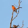 Top: American Robin (Male)<br /> Below: American Robin (Female)