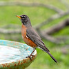 Antonio, the male American Robin, looks quite handsome as he poses for a picture!