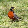 American Robin (Male)
