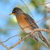American Robin captured at Covington Park,Morongo Valley,CA.